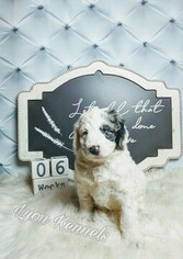 Aussiedoodle Puppy For Sale in DOGWOOD CITY, TX, USA