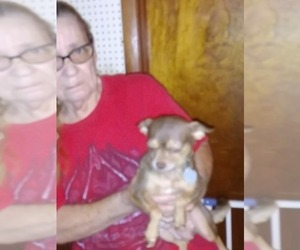 Father of the Chihuahua puppies born on 06/25/2020