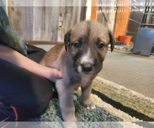 Irish Dane Puppy for Sale in BOISE, Idaho USA