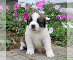 Small Saint Bernard