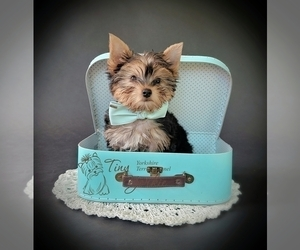 Yorkshire Terrier Puppy for Sale in VANCOUVER, Washington USA