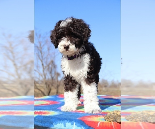 Medium Photo #4 Aussiedoodle Puppy For Sale in UNION CITY, TN, USA