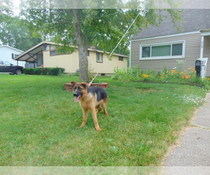 German Shepherd Dog Puppy for Sale in GREENVILLE, Michigan USA