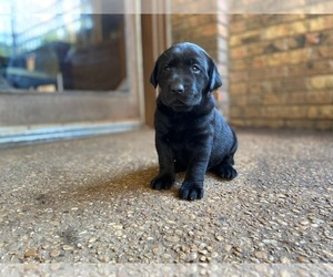 Labrador Retriever Puppy for sale in GRAND PRAIRIE, TX, USA