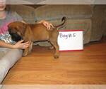 Small #19 Mastiff