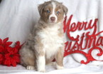 Australian Shepherd Puppy For Sale in MOUNT JOY, PA, USA