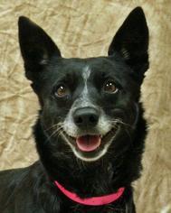 Zoey - Australian Cattle Dog/Blue Heeler / Border Collie / Mixed Dog For Adoption
