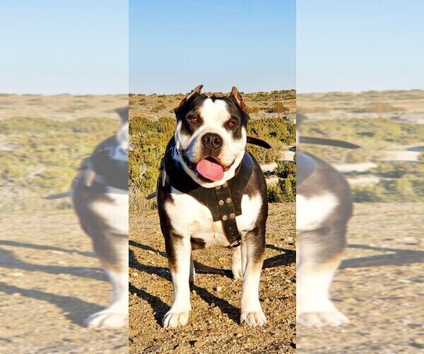 Medium Photo #6 American Bully Puppy For Sale in PALMDALE, CA, USA