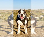 Small Photo #6 American Bully Puppy For Sale in PALMDALE, CA, USA