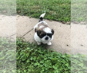Shih Tzu Puppy for sale in S ZANESVILLE, OH, USA