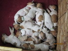 English Coonhound Puppy For Sale in LANSING, NY