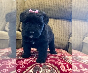 Bouvier Des Flandres Puppy for sale in DOSS, MO, USA