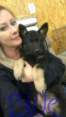 German Shepherd Dog Puppy For Sale in SAINT CHARLES, MI