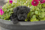Yorkie-Poo Puppy For Sale in LIGONIER, PA, USA