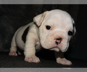 English Bulldog Puppy for sale in VERONA, MO, USA