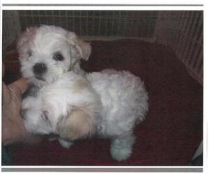 Maltese Puppy for sale in HARVEST, AL, USA