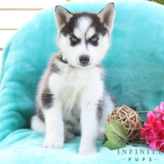 Siberian Husky Puppy For Sale in GAP, PA