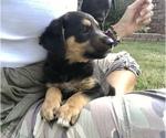 Small #1 English Shepherd-Labrador Retriever Mix
