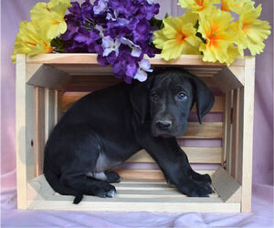 Great Dane Puppy for sale in MILLERSBURG, OH, USA