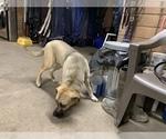 Small #2 Great Dane-Labrador Retriever Mix