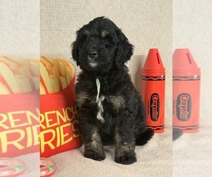 Bernedoodle Puppy for Sale in BONDUEL, Wisconsin USA