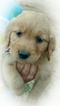 Golden Retriever Puppy For Sale in YACOLT, WA, USA