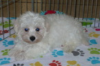 Maltese Puppy For Sale in TUCSON, AZ, USA