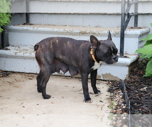 Mother of the Faux Frenchbo Bulldog puppies born on 04/23/2020