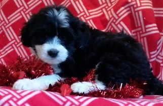 Miniature Bernedoodle Puppy For Sale in CONOWINGO, MD, USA