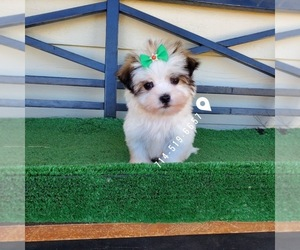 Mal-Shi Puppy for Sale in SANTA CLARITA, California USA