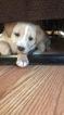 Labrador Retriever Puppy For Sale in MYRTLE BEACH, SC, USA