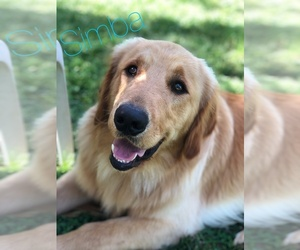 Father of the Golden Retriever puppies born on 10/13/2020