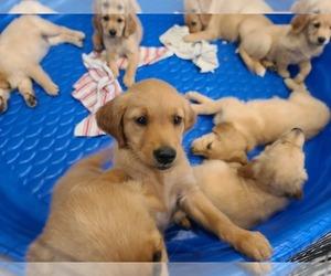Golden Retriever Puppy for sale in VISTA, CA, USA