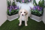 Cockeranian Puppy For Sale in LAS VEGAS, NV, USA