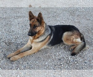 Mother of the German Shepherd Dog puppies born on 04/26/2021