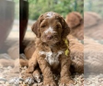 Small #15 Australian Labradoodle