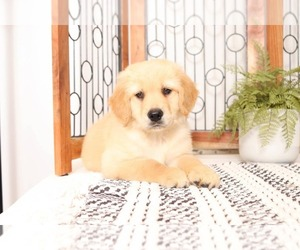 Golden Retriever Puppy for sale in NAPLES, FL, USA