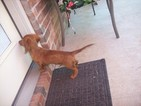 Dachshund Puppy For Sale in COUNCIL HILL, OK,