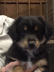 Miniature Australian Shepherd Puppy For Sale in SUNOL, CA, USA