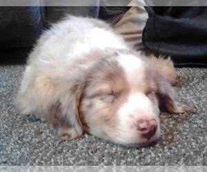 Miniature Australian Shepherd Puppy for Sale in HILLIARD, Ohio USA