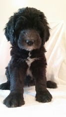 View Ad: Sheepadoodle Puppy for Sale near Florida, TAMPA, USA  ADN-64514