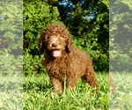 Puppy 8 Labradoodle-Poodle (Standard) Mix