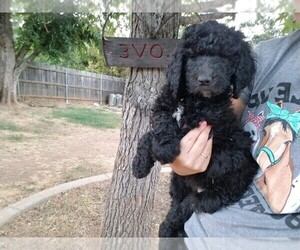 Poodle (Standard) Puppy for sale in CAMERON PARK, CA, USA