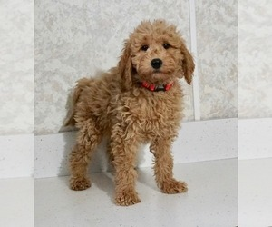 Labradoodle-Poodle (Miniature) Mix Puppy for Sale in NAPPANEE, Indiana USA