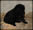 Schipperke Puppy For Sale in WAYLAND, IA, USA