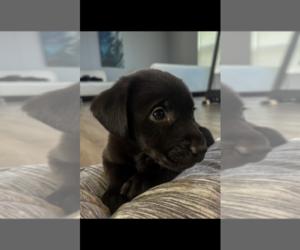 Labrador Retriever Puppy for Sale in CHARLOTTE, North Carolina USA