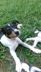 Three Ps Toy Fox Terriers