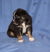 Australian Shepherd Puppy For Sale in WHITLEYVILLE, TN, USA