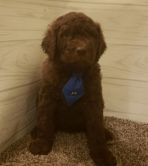 Poodle (Standard)-Pyredoodle Mix Puppy For Sale in EAST ALTON, IL, USA
