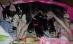 Siberian Husky Puppy For Sale in JACKSONVILLE, FL